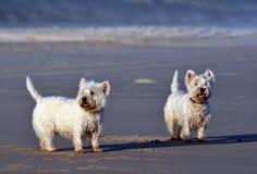 Accoppiamenti dei Terriers fotografia stock