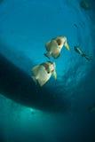 Accoppiamenti del Batfish Immagine Stock Libera da Diritti
