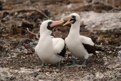 Accoppiamenti del Booby di Nazcar su Galapagos Fotografia Stock