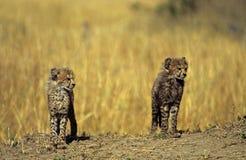 Accoppiamenti del cub del ghepardo Fotografia Stock Libera da Diritti