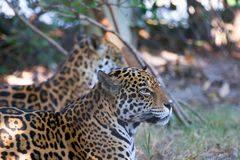 Accoppiamenti del giaguaro Immagine Stock Libera da Diritti