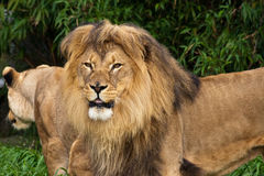 Accoppiamenti del leone nel giardino zoologico immagini stock
