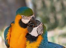 Accoppiamenti del Macaw Immagini Stock Libere da Diritti