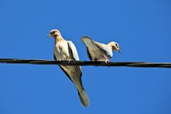 Accoppiamenti del piccione Immagini Stock Libere da Diritti