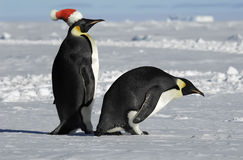 Accoppiamenti del pinguino su natale Fotografia Stock Libera da Diritti