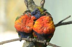 Accoppiamenti del Rainbow Lorikeets Fotografia Stock Libera da Diritti