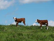 Accoppiamenti del vitello fotografia stock libera da diritti