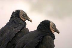 Accoppiamenti dell'avvoltoio nero Fotografie Stock Libere da Diritti
