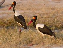 Accoppiamenti della cicogna di Saddlebilled, Sudafrica Fotografie Stock