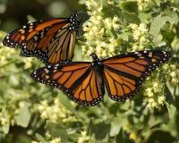 Accoppiamenti della farfalla di monarca Fotografia Stock