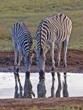 Accoppiamenti della zebra Immagine Stock Libera da Diritti