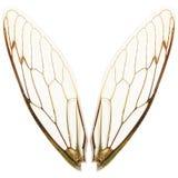 Accoppiamenti delle ali della cicala Immagini Stock Libere da Diritti