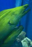 Accoppiamenti delle anguille di Moray Fotografia Stock Libera da Diritti