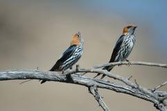 Accoppiamenti dello Swallow. Immagine Stock