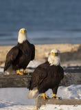 Accoppiamenti di Eagles calvo Immagine Stock