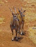 Accoppiamenti di Elands africano Fotografia Stock
