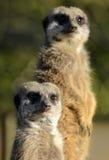 Accoppiamenti di Meerkats Fotografia Stock