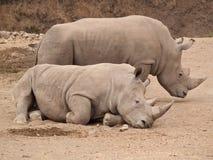 Accoppiamenti di rinoceronte Fotografia Stock