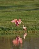 Accoppiamenti di Spoonbill roseo, Florida Fotografia Stock