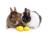 Accoppiamenti divertenti dei conigli con i tulipani Fotografia Stock