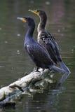 Accoppiamenti Doppio-Crestati dei Cormorants fotografia stock