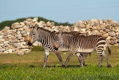 Accoppiamenti giovanili della zebra di montagna Fotografie Stock