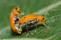 Accoppiamento arancione dello scarabeo Immagine Stock Libera da Diritti