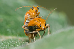 Accoppiamento arancione dello scarabeo Fotografia Stock