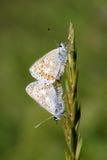 Accoppiamento blu comune delle farfalle Fotografie Stock