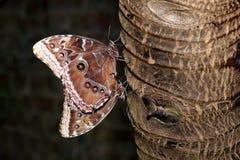 Accoppiamento blu delle farfalle di Morpho Fotografia Stock Libera da Diritti