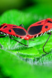 Accoppiamento degli errori di programma del Pyrrhocoridae Fotografia Stock Libera da Diritti