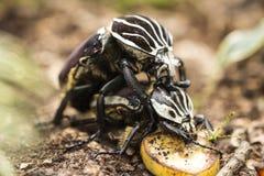 Accoppiamento degli scarabei Immagine Stock Libera da Diritti