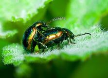 Accoppiamento degli scarabei Fotografia Stock