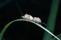 Accoppiamento degli scarabei Immagine Stock