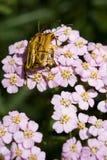 Accoppiamento degli scarabei del soldato Immagini Stock Libere da Diritti