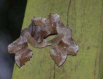 Accoppiamento dei falco-lepidotteri del pioppo fotografia stock