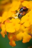 Accoppiamento dei Ladybugs Fotografie Stock