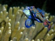 Accoppiamento dei pesci del mandarino Fotografia Stock