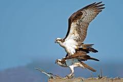 Accoppiamento del falco pescatore Immagini Stock
