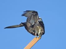 Accoppiamento del falco pescatore Immagine Stock