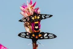 Accoppiamento del lepidottero Immagini Stock Libere da Diritti