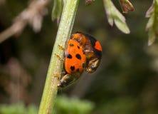 Accoppiamento della coccinella di Ladybird Immagini Stock