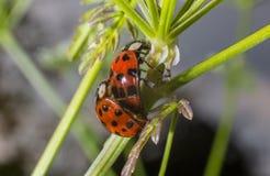 Accoppiamento della coccinella di Ladybird Fotografia Stock