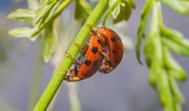 Accoppiamento della coccinella di Ladybird Immagine Stock Libera da Diritti