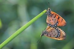 Accoppiamento della farfalla Fotografia Stock Libera da Diritti