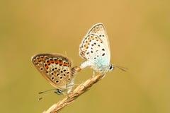 Accoppiamento della farfalla Fotografie Stock