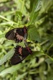 Accoppiamento della farfalla di Cattleheart Fotografia Stock