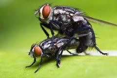 Accoppiamento della mosca Fotografia Stock Libera da Diritti