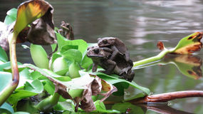Accoppiamento della rana Immagini Stock