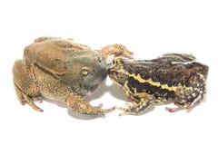 Accoppiamento della rana toro del sesso immagini stock libere da diritti